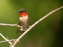 Ruby-throated Hummingbird_GI