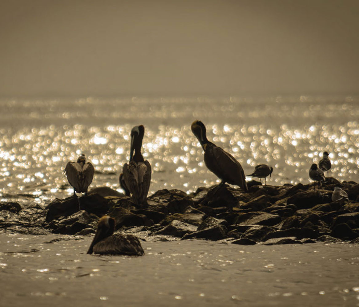 pelicans by water