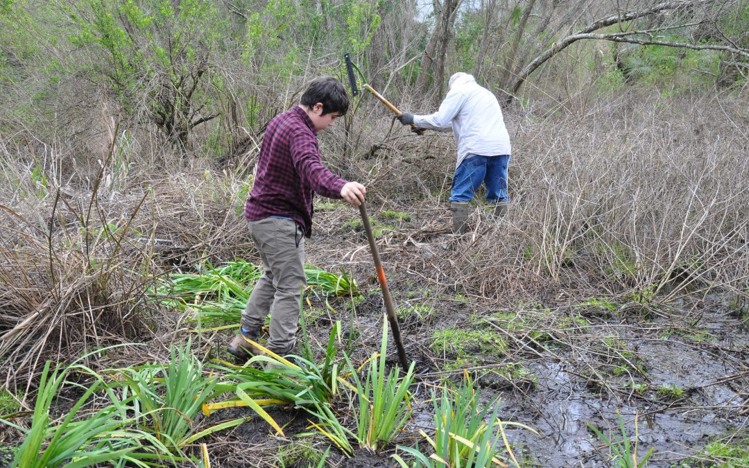 Hundreds of Louisiana irises were just planted in Grand Isle — and they'll bloom in few weeks